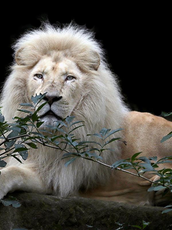 Fonds Decran 600x800 Fauve Lions Fond Noir Voir Branche