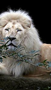 Bilder Große Katze Löwe Schwarzer Hintergrund Blick Ast Weiß Tiere