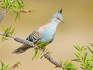 Hintergrundbilder Vögel Feldtauben Ast Crested Pigeon Tiere