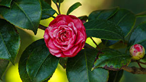 Images Camellia Branches Flower-bud Leaf Flowers