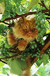 Photo Cats Grapes Branches Animals