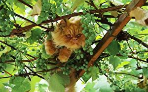 Fotos Katze Weintraube Ast Tiere