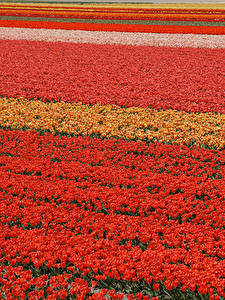 Wallpapers Fields Tulips Many Netherlands Lisse Flowers