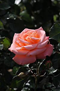 Hintergrundbilder Rosen Hautnah Rosa Farbe Knospe Ast Blumen
