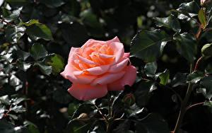 Hintergrundbilder Rosen Großansicht Rosa Farbe Blütenknospe Ast Blumen
