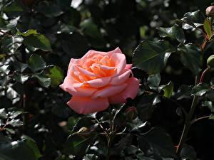 Hintergrundbilder Rosen Großansicht Rosa Farbe Knospe Ast Blumen