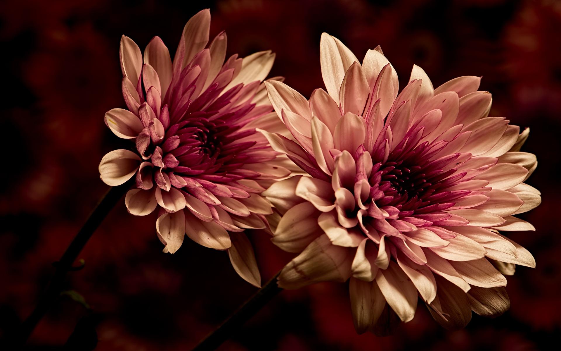 Image Two Dahlias Flowers Closeup 1920x1200 2 flower