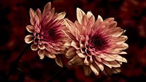 Hintergrundbilder Großansicht Dahlien Zwei Blumen