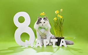Hintergrundbilder Feiertage 8 März Katze Narzissen Farbigen hintergrund Russisches Schleife Tiere