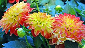 Bilder Georginen Großansicht Blütenknospe Blumen