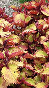 Fotos Buntnesseln Großansicht Blattwerk Blumen