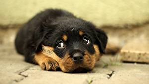 Pictures Dogs Rottweiler Puppy Snout Glance Sweet Animals
