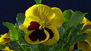 Hintergrundbilder Ackerveilchen Nahaufnahme Schwarzer Hintergrund Blumen