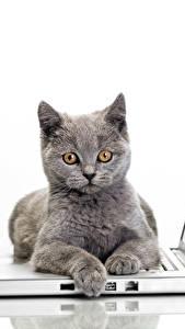 Bilder Katze Weißer hintergrund Notebook Graue Blick ein Tier