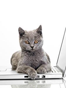 桌面壁纸,,家貓,白色背景,筆記型電腦,灰色,凝视,動物