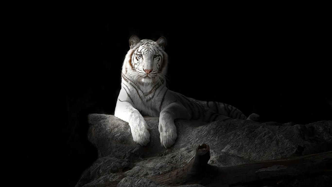 Fondos De Pantalla 1366x768 Grandes Felinos Tigris Fondo
