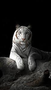 Papéis de parede Fauve Tigre Fundo preto Branco Animalia