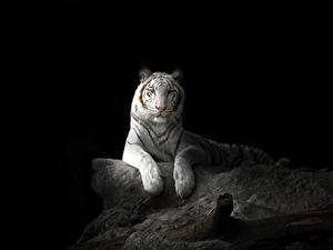 Bilder Große Katze Tiger Schwarzer Hintergrund Weiß Tiere