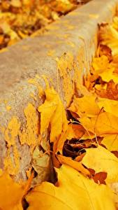 Bilder Großansicht Herbst Blatt Gelb Ahorne Natur