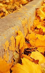 Bilder Hautnah Herbst Blatt Gelb Ahorn Natur