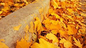 Bilder Hautnah Herbst Blatt Gelb Ahorn