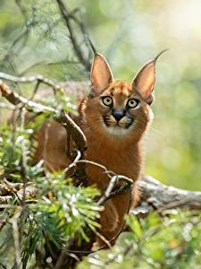 Hintergrundbilder Karakal Starren Bokeh Tiere