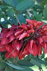 Bilder Großansicht Rot Blatt Erythrina crista-galli cockspur coral tree Blumen