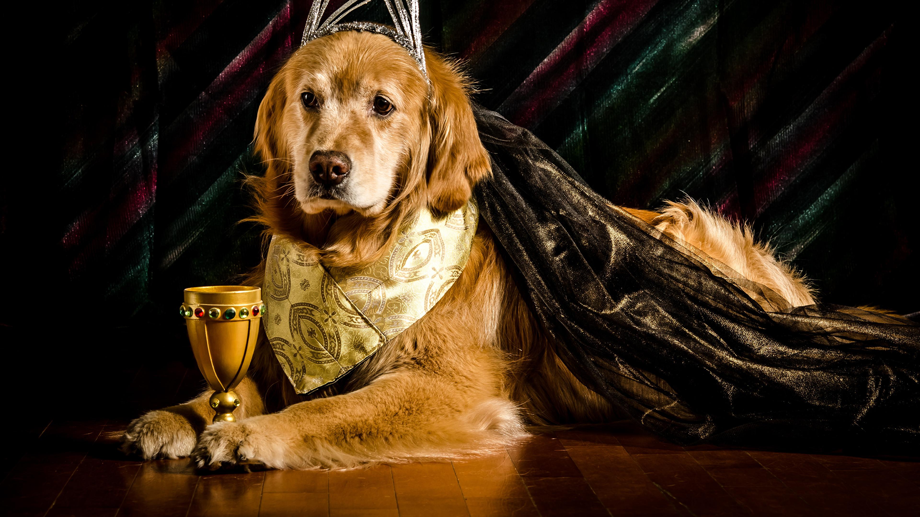 Wallpaper Golden Retriever Dogs Stemware Animals 3840x2160