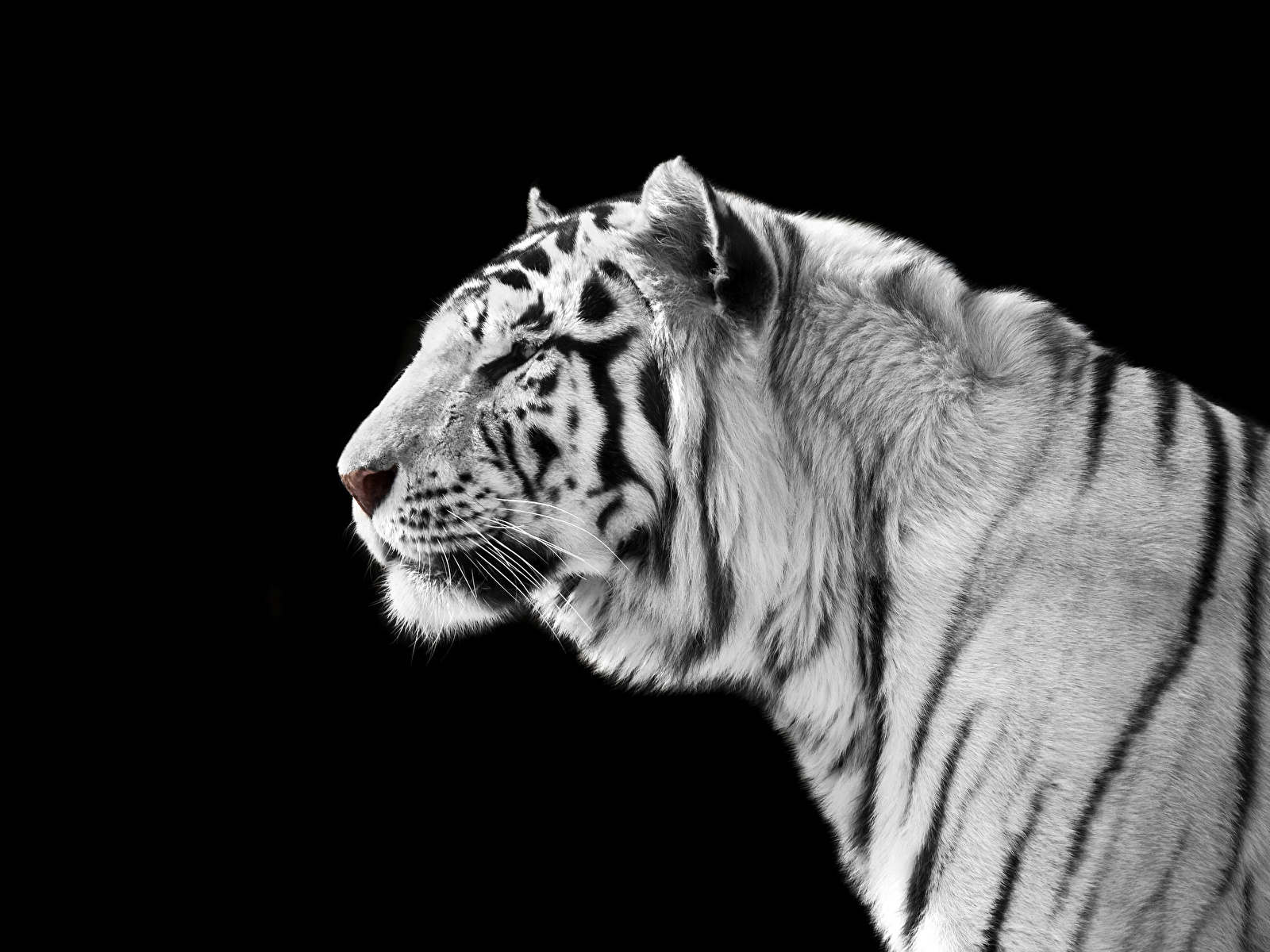 Images Tigers Big Cats White Snout Animal Black Background