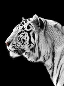 Bilder Große Katze Tiger Schwarzer Hintergrund Weiß Schnauze Tiere