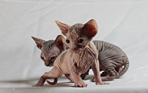 Pictures Cats Sphynx cat Kittens Two Animals