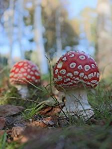 Desktop hintergrundbilder Großansicht Pilze Natur Wulstlinge Natur