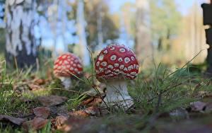 Hintergrundbilder Großansicht Pilze Natur Wulstlinge