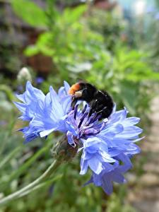 Fotos Kornblume Nahaufnahme Hummeln Blau Blumen