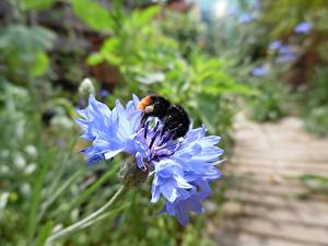 Images Cornflowers Closeup Blue Bumblebee Flowers