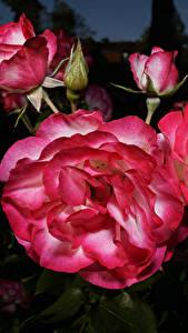 Fotos Rosen Großansicht Blütenknospe Blüte