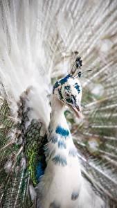 Hintergrundbilder Großansicht Vögel Pfauen Kopf Tiere