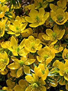 Bilder Christrosen Großansicht Gelb Blumen