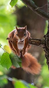 Fotos Eichhörnchen Nagetiere Ast Tiere