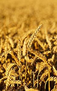 Bilder Weizen Felder Unscharfer Hintergrund Ähren