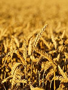 Pictures Wheat Fields Blurred background Spike Nature
