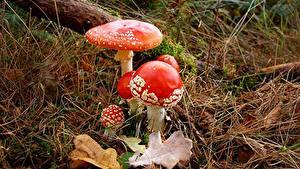 Bilder Pilze Natur Wulstlinge