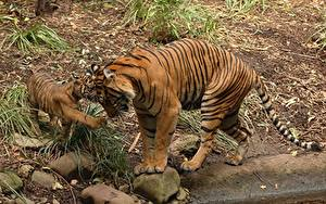 Picture Tigers Cubs Stones Two Bengal tiger Animals