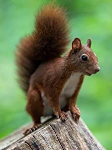 Bilder Eichhörnchen Nagetiere Baumstumpf Bokeh ein Tier