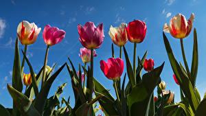 Fotos Tulpen Himmel Untersicht Ansicht von unten Blumen