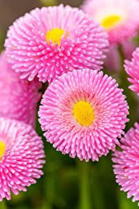 Hintergrundbilder Gänseblümchen Hautnah Rosa Farbe Blüte