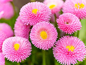 Hintergrundbilder Gänseblümchen Großansicht Rosa Farbe Blüte