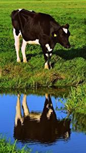 Bilder Kuh Grünland Gras Spiegelt ein Tier