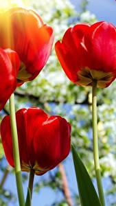 Bilder Tulpen Nahaufnahme Untersicht Ansicht von unten Rot Blüte