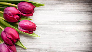 Bilder Tulpen Großansicht Bordeauxrot Blüte
